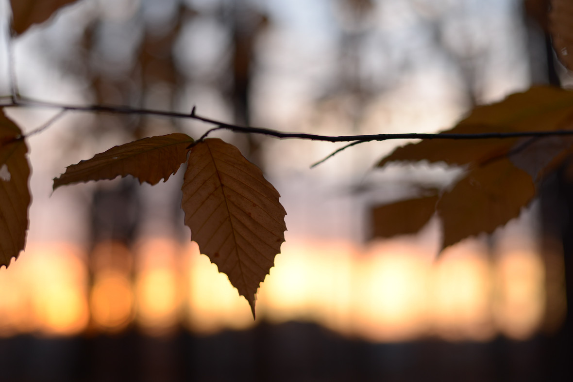 American Beech Tree Leaves