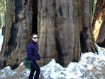 Standing in front of a sequoia