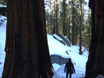 Giant Sequoia on a hill