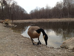 Canada goose drinking from a pond